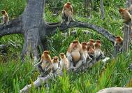 Mono narigudo en la selva de Borneo