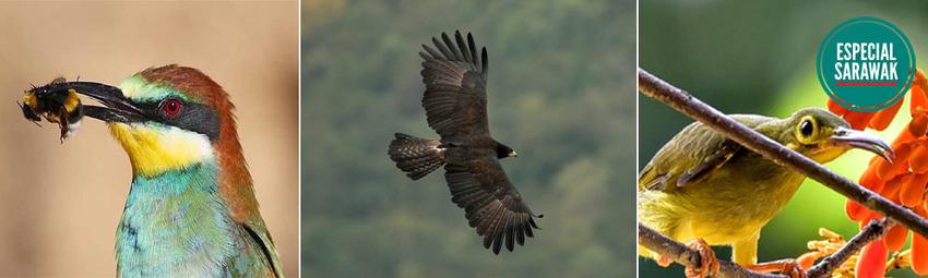 Aves Sarawak.jpg