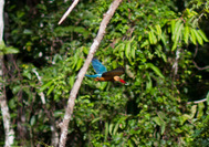 Kingfisher en Borneo
