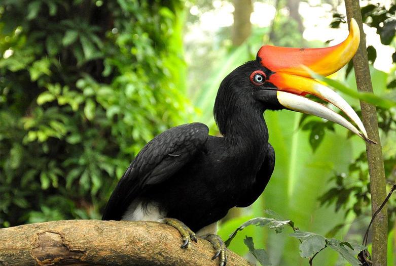 Malasia Viajes | Hornbil, Belum Rainforest