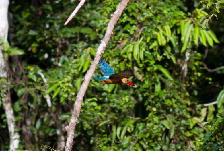 Malasia Viajes | Kingfisher, Borneo