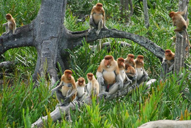 Malasia Viajes   Mono narigudo, Borneo