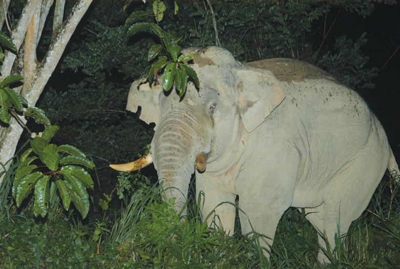Malasia Viajes   Elefante, Royal Belum Rainforest
