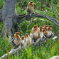Malasia Viajes | Mono narigudo, Borneo
