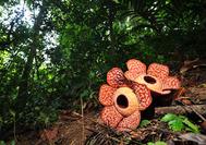 Viaje a Malasia | Rafflesia en la selva de Belum Rainforest