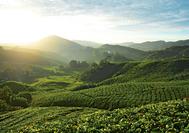 Viaje a Malasia | Plantaciones de té en los Cameron Highlands