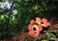 Malasia Viajes | Belum Rafflesia