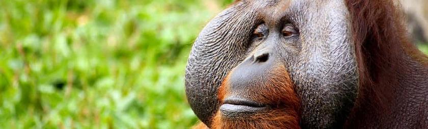 orangutan_borneo.jpg