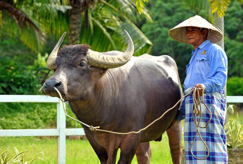 Malasia Viajes | Buffalo, Langkawi