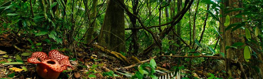 Malasia Viajes | Rafflesia, Belum Rainforest