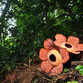 Viaje a Malasia | Belum Rafflesia