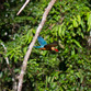 Malasia Viajes   Kingfisher, Borneo