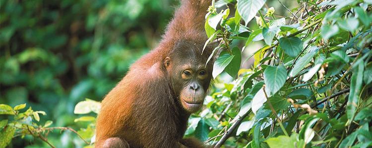 Malasia Viajes | Borneo Orangután